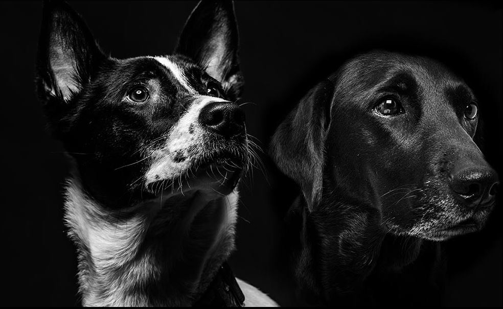 Two black dogs with a black background.