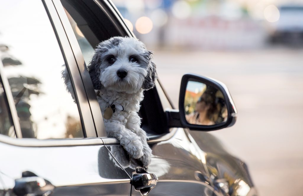 A small dog on a road trip looks out the open passenger side car window