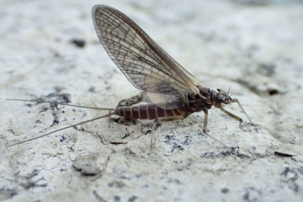 Mayfly near  a river.