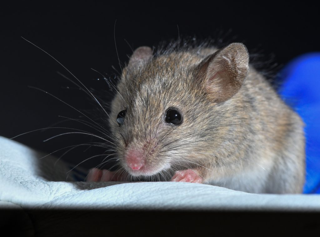 A closeup of a mouse sitting on a glove.