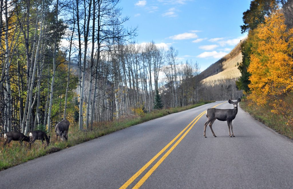 A mule deer grazes beside the road leading to Maroon Lake near Aspen, Colorado. The IIHS says deer whistles 'have not proven effective.'