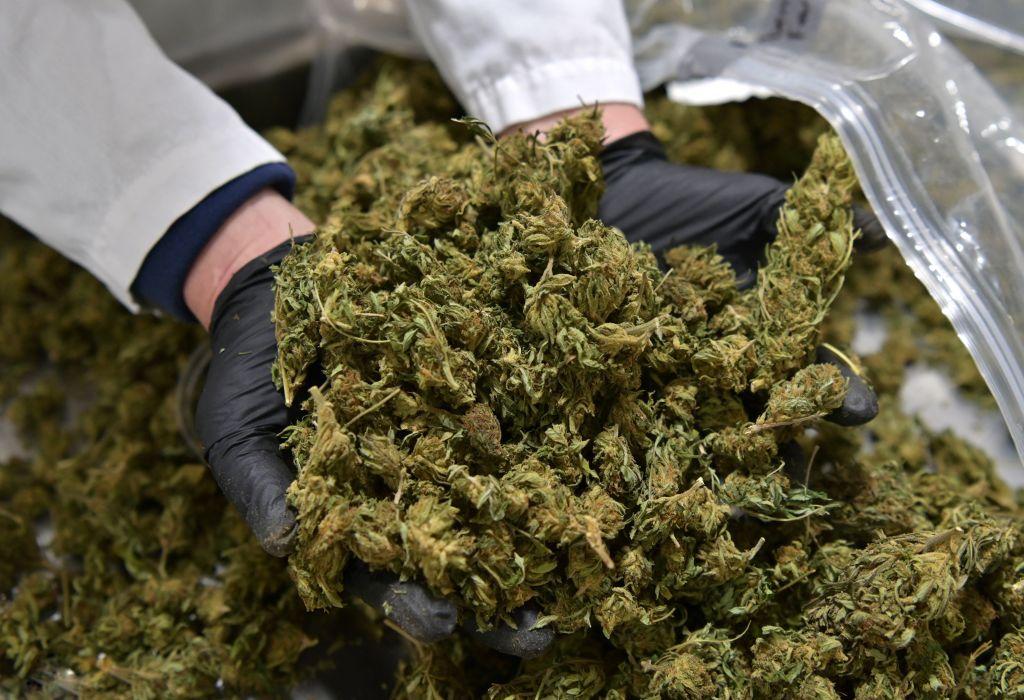 a scientist holding marijuana