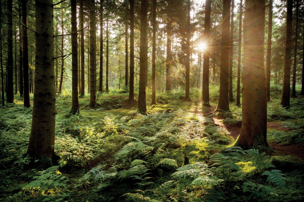 Sunlight passing through coniferous trees in a thick forrest
