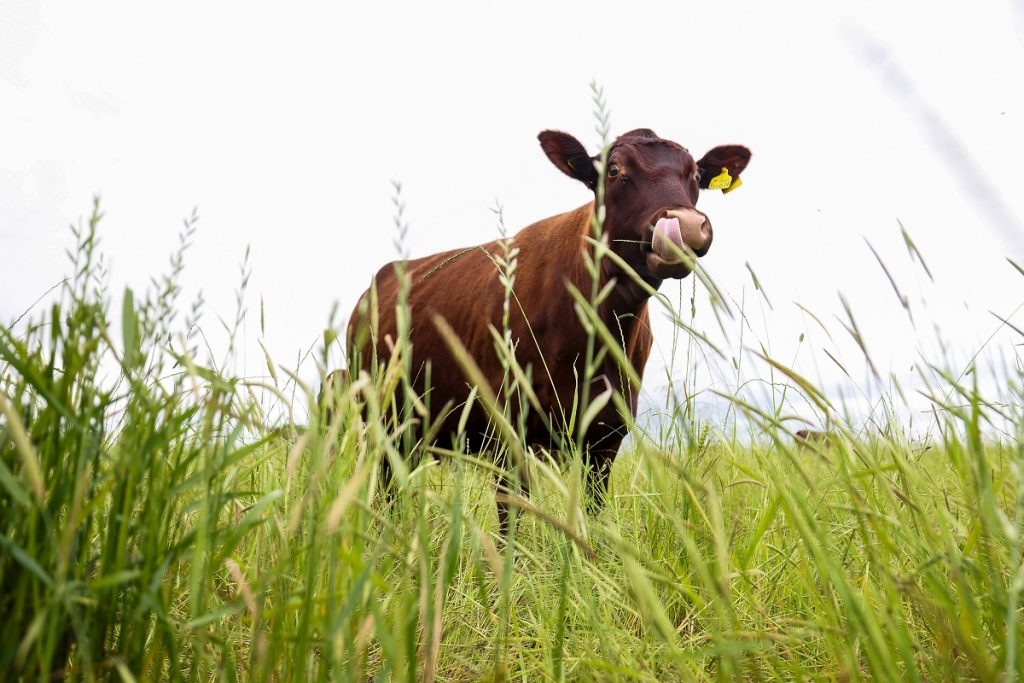 A cow in a grassy field.
