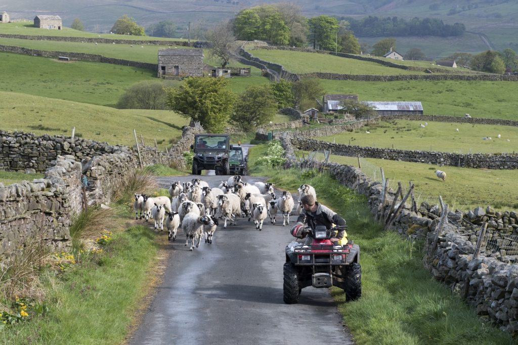 A farmer on an ATV moves sheep down a narrow country road