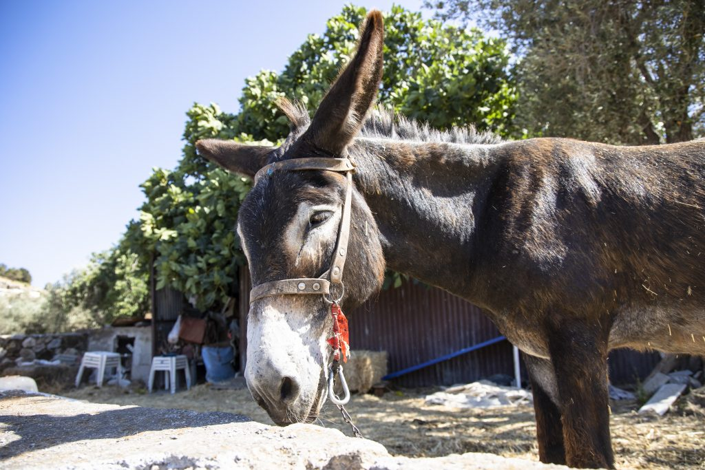 the head and shoulders of a donkey like the one that pulled the Ford SUV