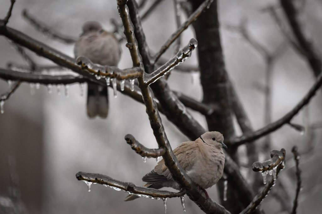 A pair of pigeons perched in a tree with frozen branches