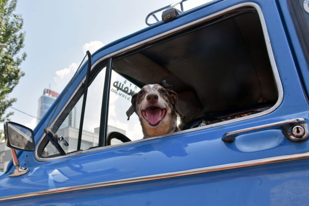 A dog looking out of a car window in Kyiv, Ukraine