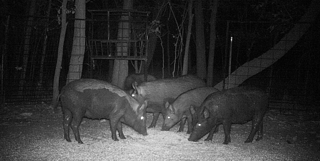 Feral hogs eat a pile of corn inside a trap set by biologists in Cowley County, Kansas, in September 2012