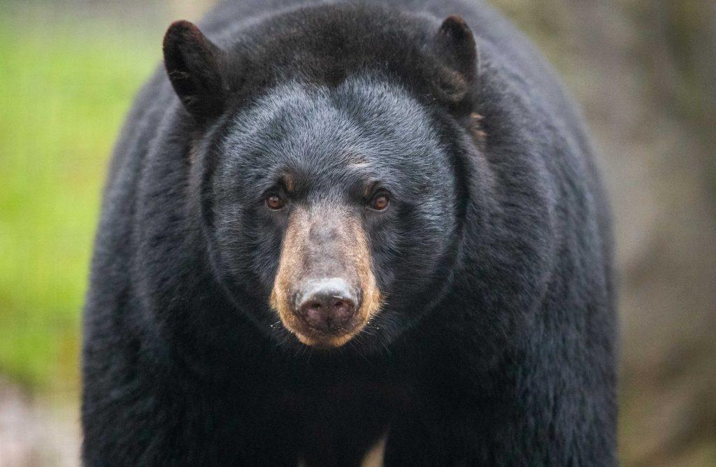 Close up view of black bear