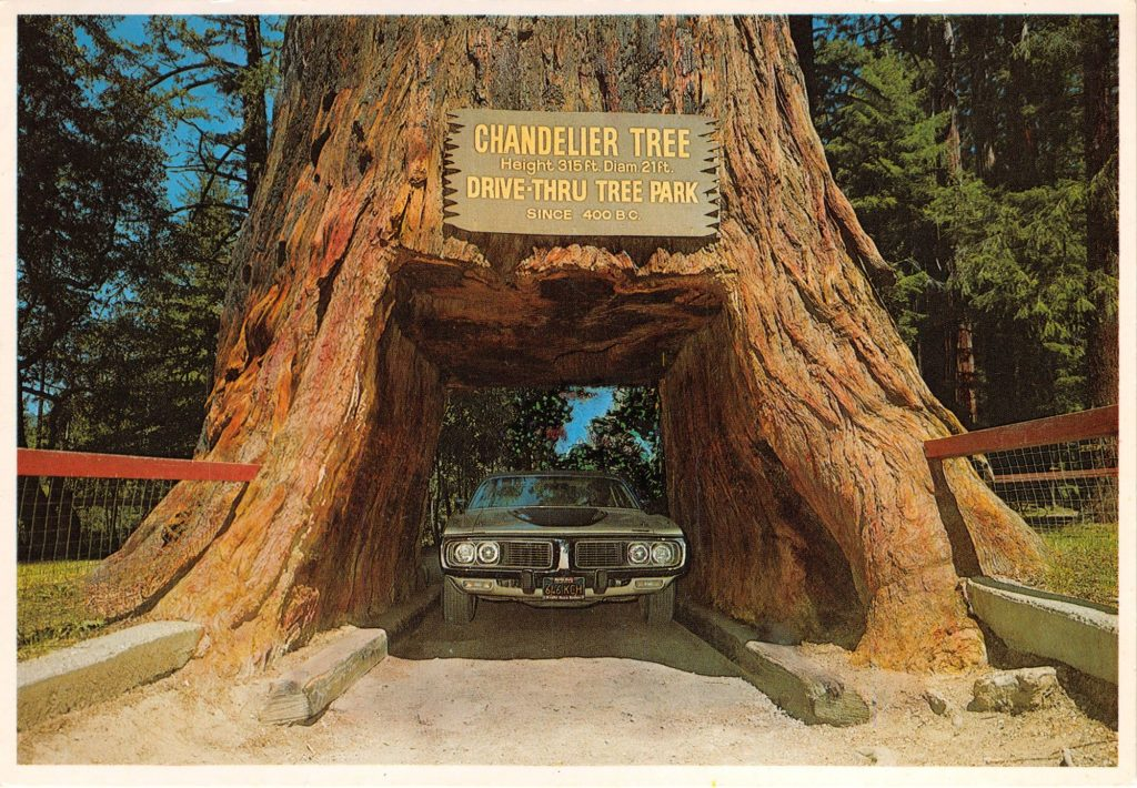 A large drive thru Redwood tree with a car driving through it.