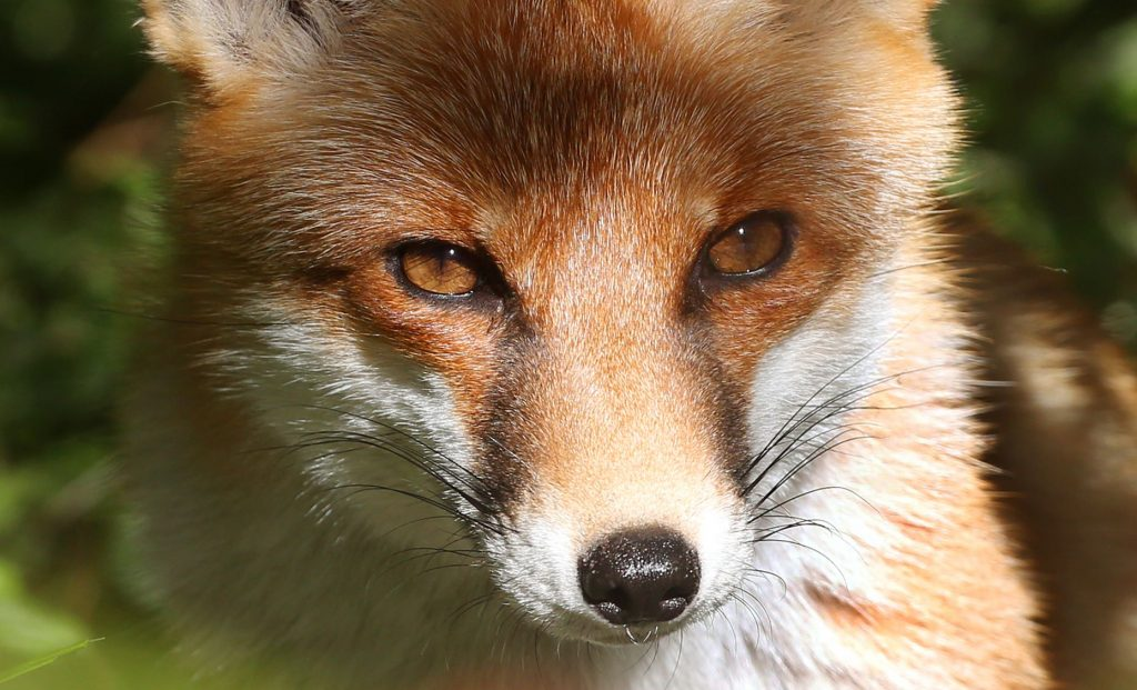 Close-up view of fox