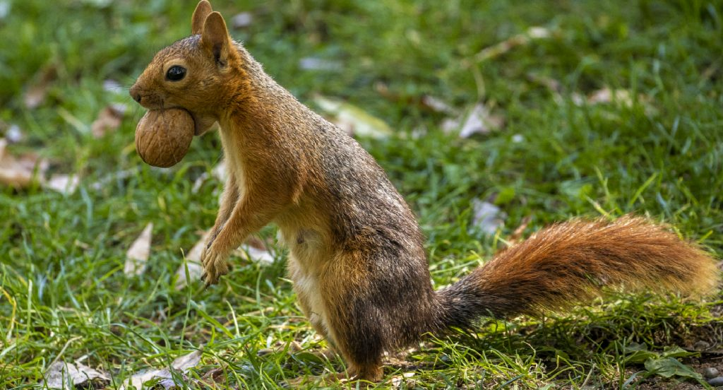 A squirrel holds a walnut in its mouth as it stands upright in green grass.